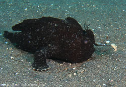 BD-080331-Lembeh-3312468-Antennarius-striatus-(Shaw.-1794)-[Striated-frogfish].jpg